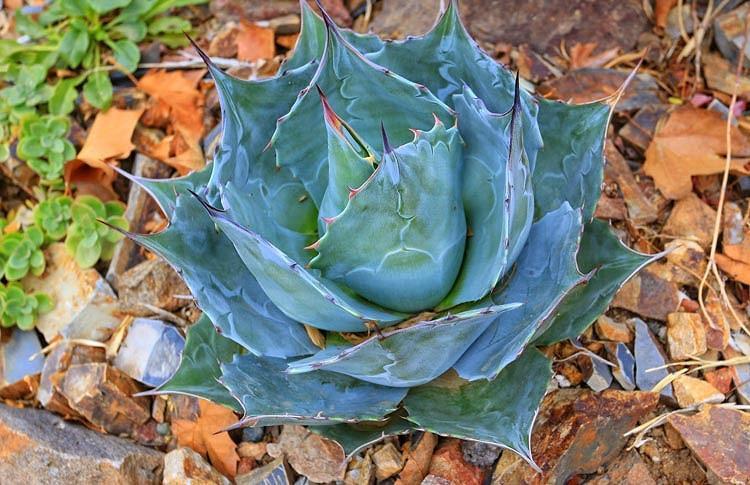 Agave parrasana, Cabbage Head Agave, Cabbage Head Century Plant, succulent, drought tolerant plant